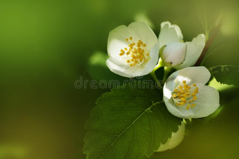 White cherry blossom close up on green backgound. With copy space stock image