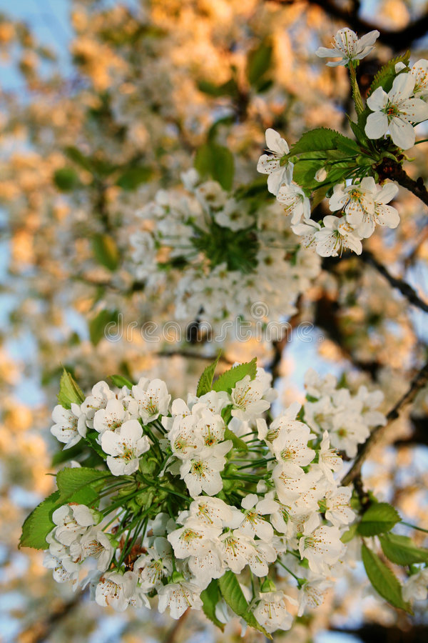 Download White Cherry Blossom Flowers Stock Photo - Image: 5147034