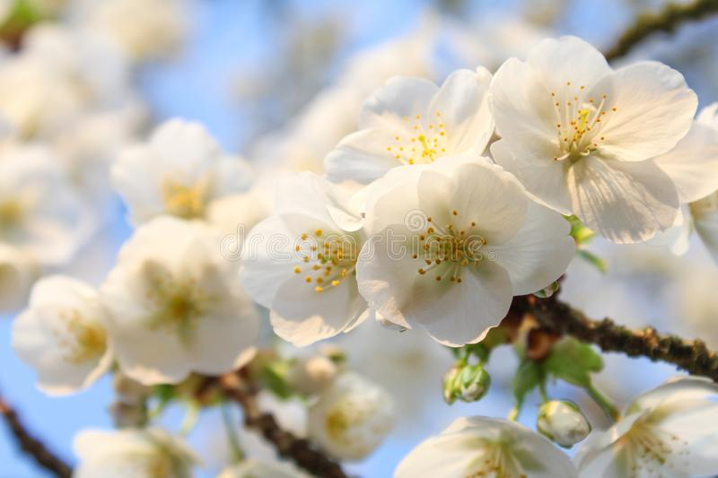White cherry blossom flowers closeup and a blue background. A branch with white cherry blossom flowers closeup and a blue sky in the background in springtime royalty free stock images
