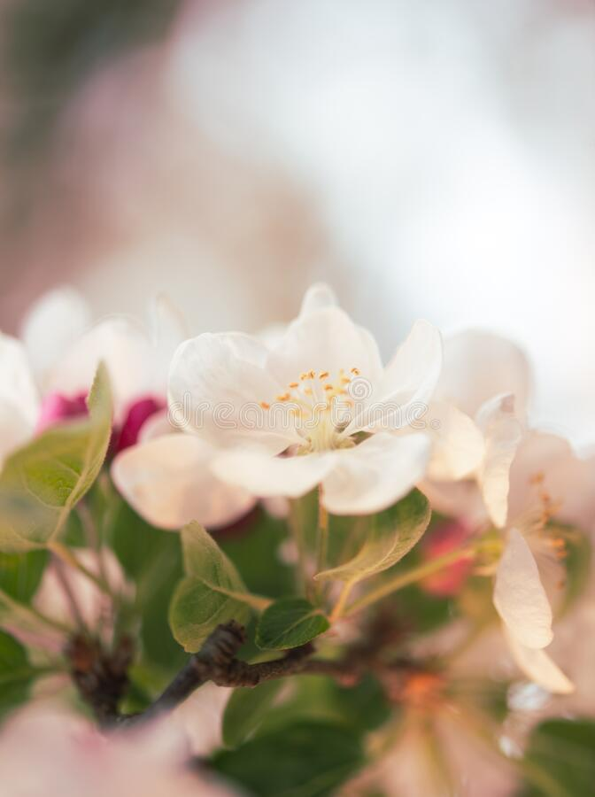 Soft focus White and pink  apple blossom macro close up light  background. White cherry blossom light back ground maro close up beautiful tree and flowers close stock image