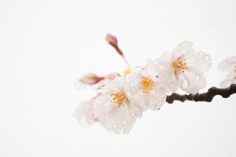 Cherry blossom or sakura isolated on white royalty free stock image