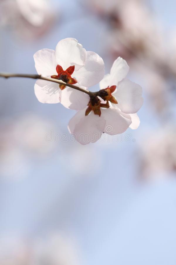 White cherry blossom in spring on blue sky background in the morning royalty free stock photo