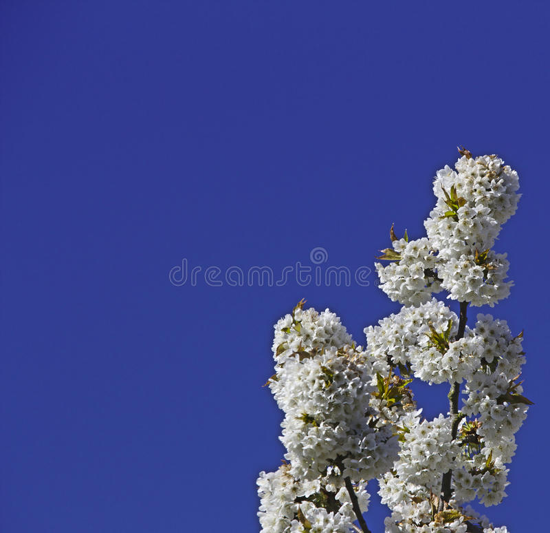 White cherry blossom stock photography