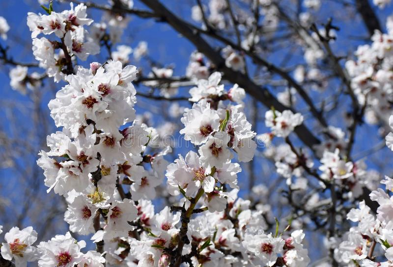 White Cherry Blossom Tree on a sunny day. In a Japanese Garden royalty free stock images