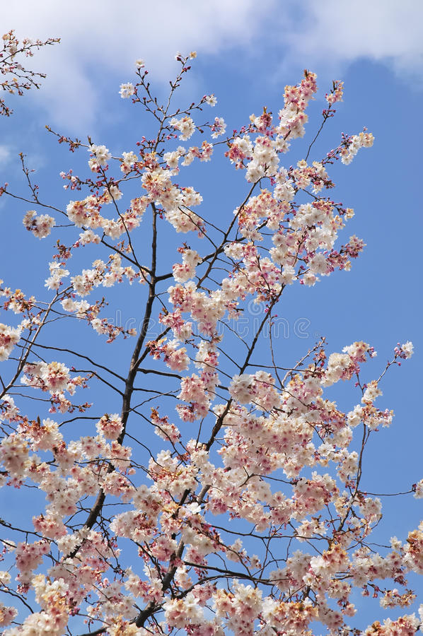 White cherry blossoms against a bright blue sky royalty free stock photo