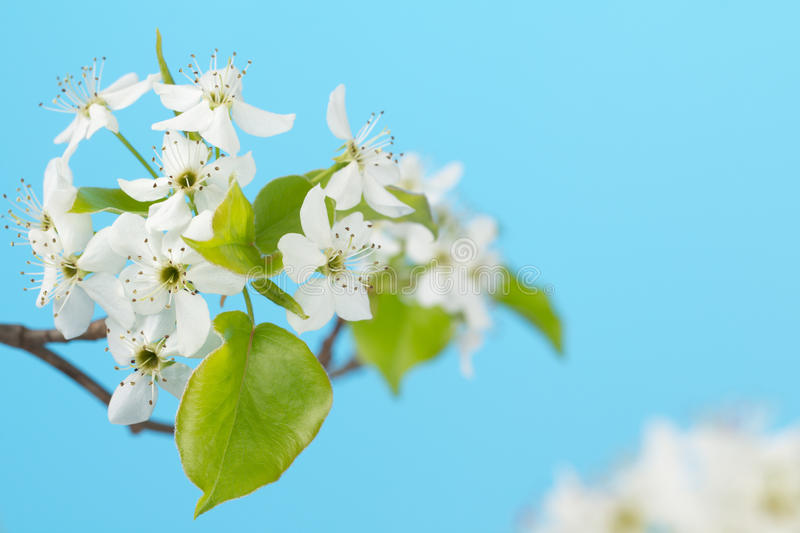 White cherry blossoms close up royalty free stock photography