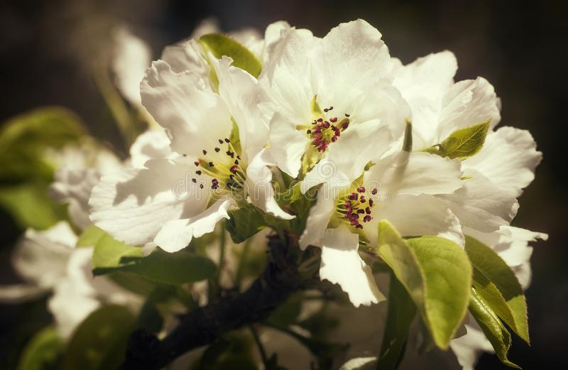 White Cherry Blossoms royalty free stock photo