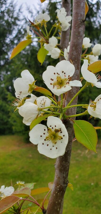 White Cherry Blossoms With Rain Drops. Stock Image - Image ...