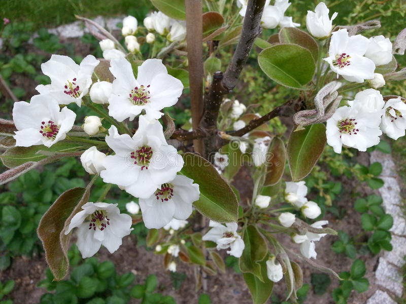White cherry blossoms in spring stock photos