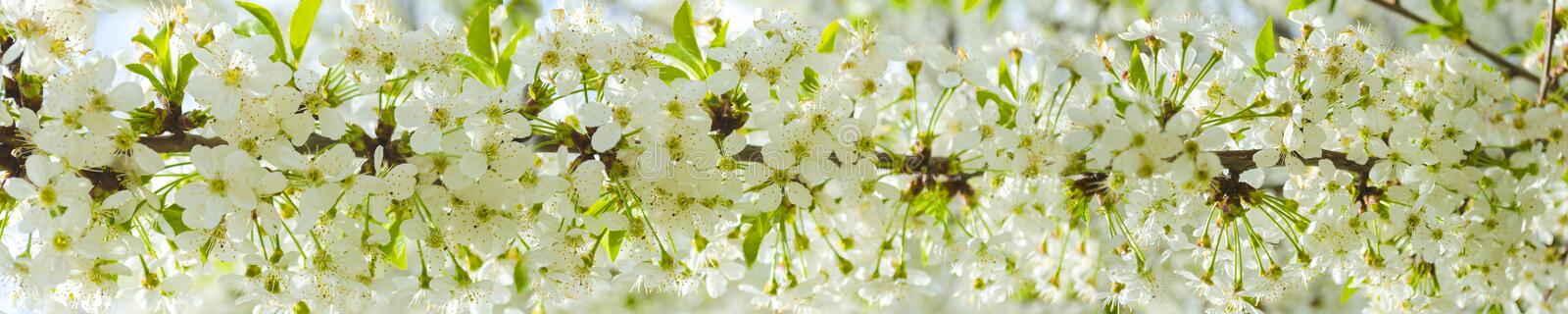 White cherry blossoms in spring sun with blue sky. stock photography