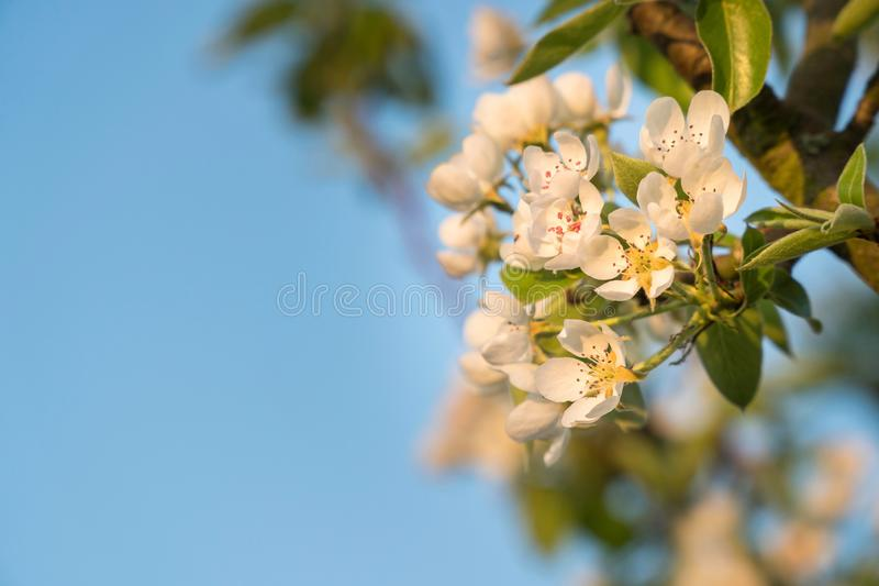 White cherry blossoms on a twig in front of a blue sky - copy space. White cherry blossoms on a twig in golden sunlight in front of a clear blue sky close-up royalty free stock image