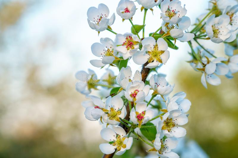 White cherry blossoms on a twig in spring - copy space. White cherry blossoms on a twig in golden sunlight close-up, diagonal twig, horizontal landscape format royalty free stock images