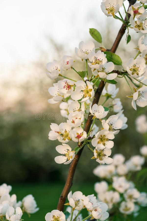 White cherry blossoms on a twig in spring - vertical. White cherry blossoms on a twig in golden sunlight close-up, diagonal twig, vertical format royalty free stock photo