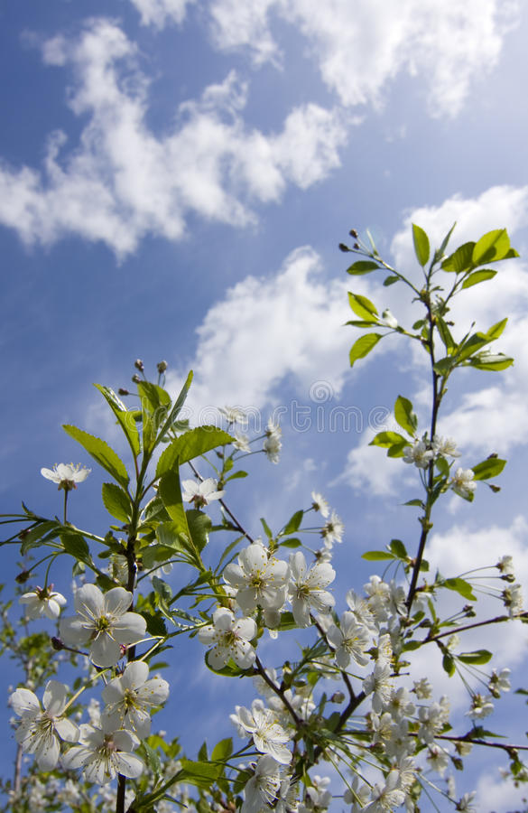 White Cherry Flowers stock image