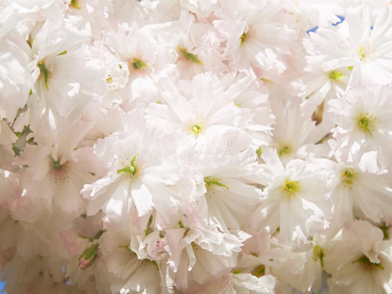White cherry flowers. Abstract spring blossom background. Springtime. royalty free stock photos