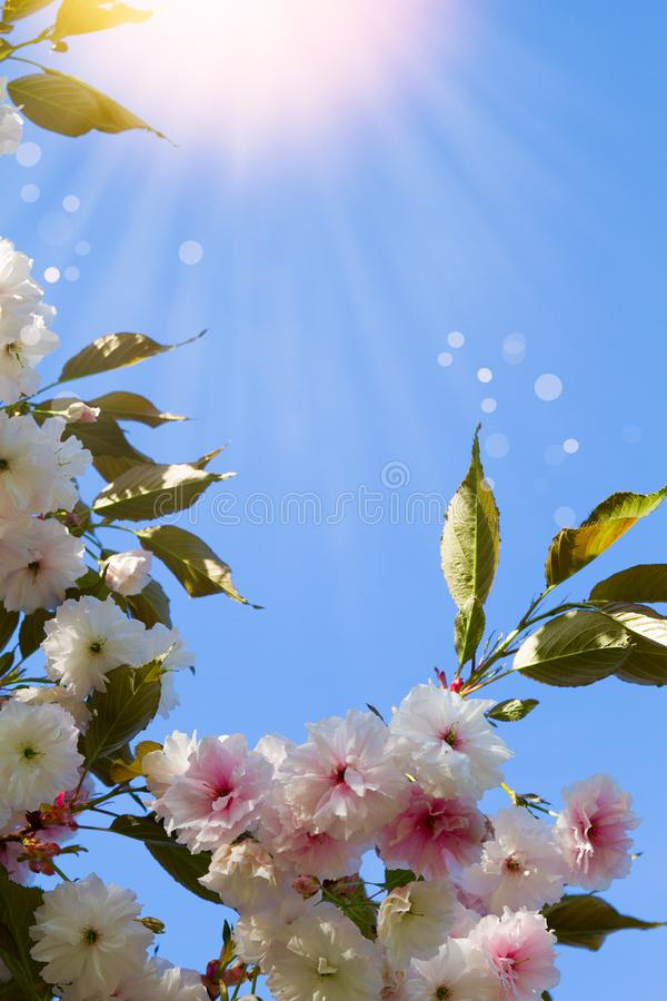 White cherry flowers. Abstract spring blossom background. Springtime. Banner background with copy space, toned and blurred. royalty free stock images