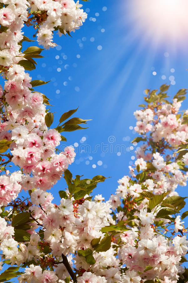 White cherry flowers. Abstract spring blossom background. Springtime. Banner background with copy space, toned and blurred. stock image