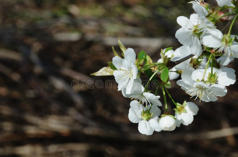 White cherry flowers against dark beige. royalty free stock photos