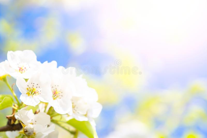 White cherry flowers. Beautiful flowering cherry trees. Background with blooming flowers in spring day. royalty free stock photography
