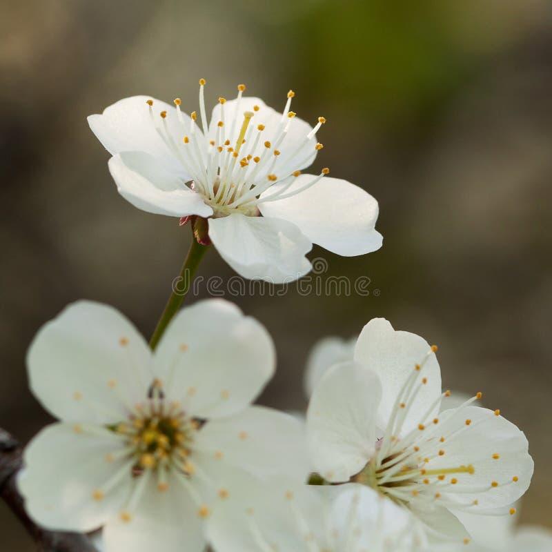 White cherry flowers. Beautiful tender white cherry flowers royalty free stock photo
