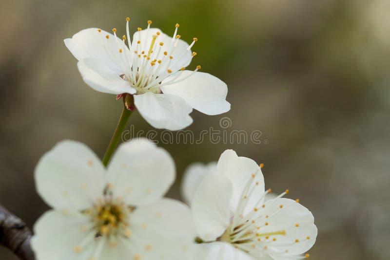White cherry flowers. Beautiful tender white cherry flowers stock photo