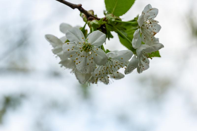 White cherry flowers blossom against the background of sky. A lot of white flowers in spring dayin garden. Selective focus royalty free stock photos