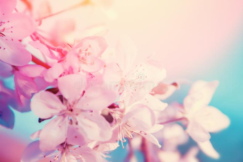 White cherry flowers blossom on tree. Nature beautiful floral background royalty free stock photo