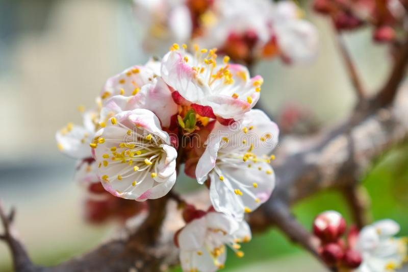 White cherry flowers on a blurry background. Place for an inscription. N royalty free stock images