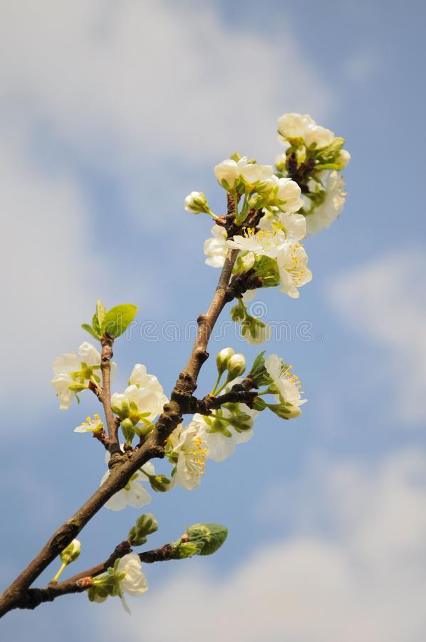 Branch of white cherry flowers stock image