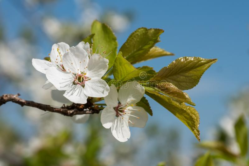 White cherry flowers spring bloom with blue sky on background. Close up artistic shot stock image