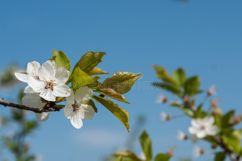 White cherry flowers spring bloom with blue sky on background. Close up artistic shot stock photo