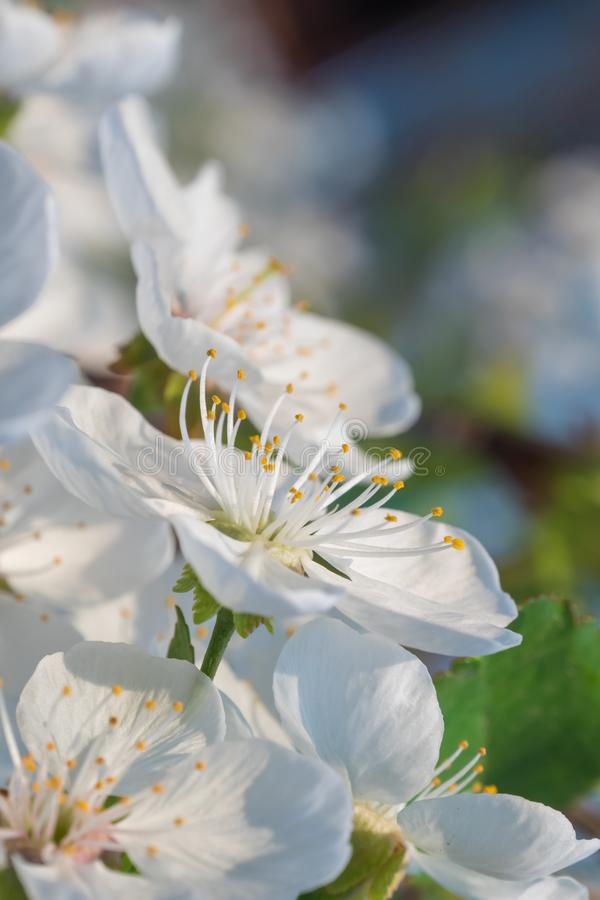 White cherry flowers spring bloom. Close up artistic shot stock image
