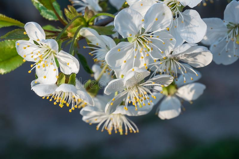 White cherry flowers spring bloom on dark gray background. Close up artistic shot stock images