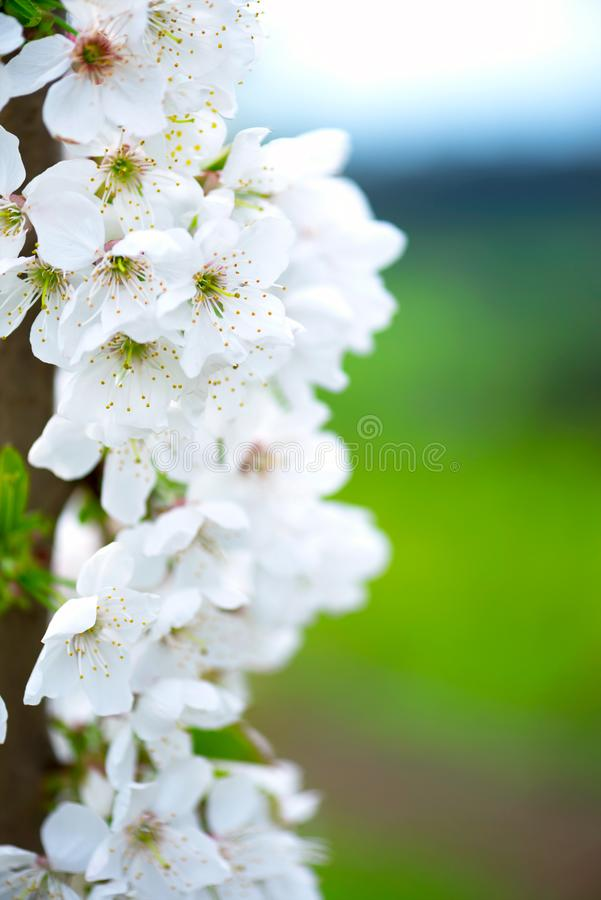 White cherry flowers on a tree, vertical orientation. A photo of white cherry flowers, close-up, vertical orientation, blurred background royalty free stock images