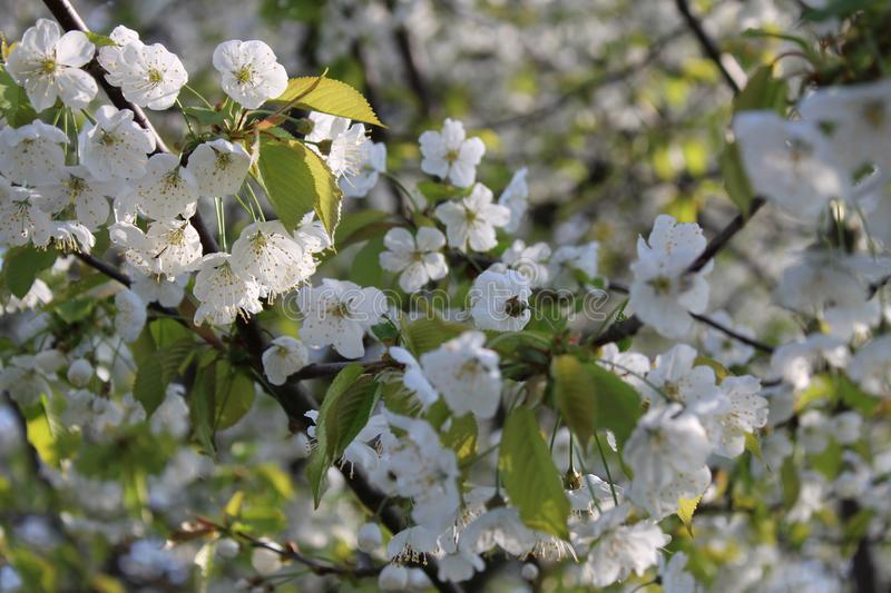 White cherry hats in spring stock image