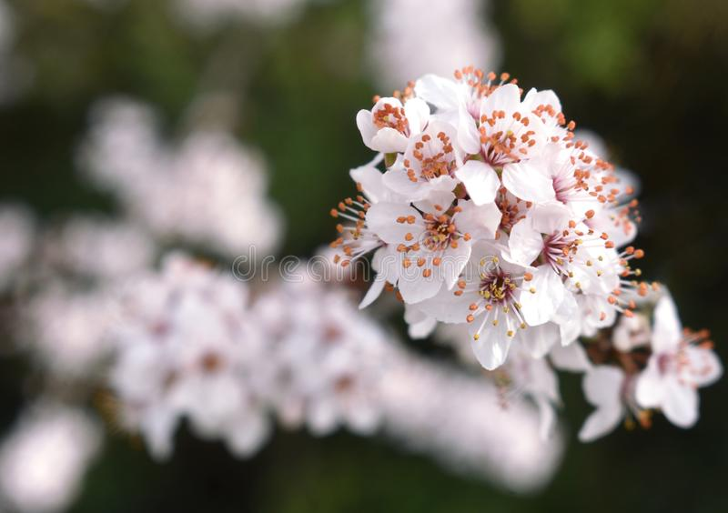 Cherry Plum Blossom Flowers. White Cherry Plum Blossoms growing on a tree in the UK in Spring 2019 stock photos