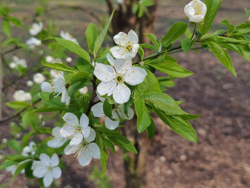 Cherry plum flowers. White cherry plum flowers blossom in springtime royalty free stock photo