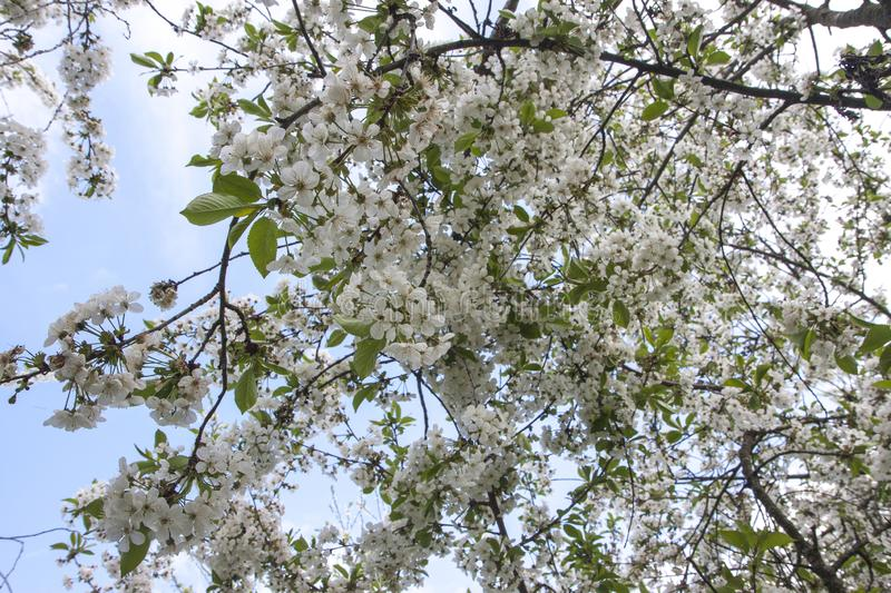 White cherry tree flower in spring. Beautiful cherry blossom Sakura with light blue sky. stock photography