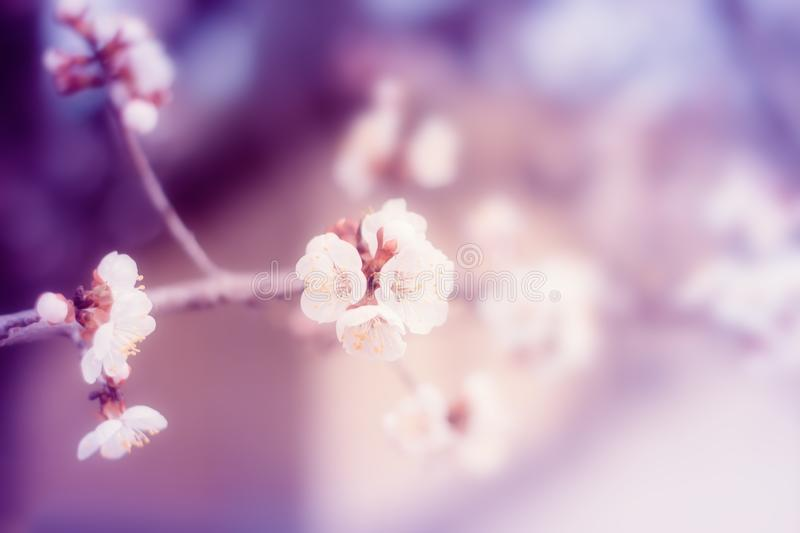 White cherry tree flowers blossom on branch in spring stock photography