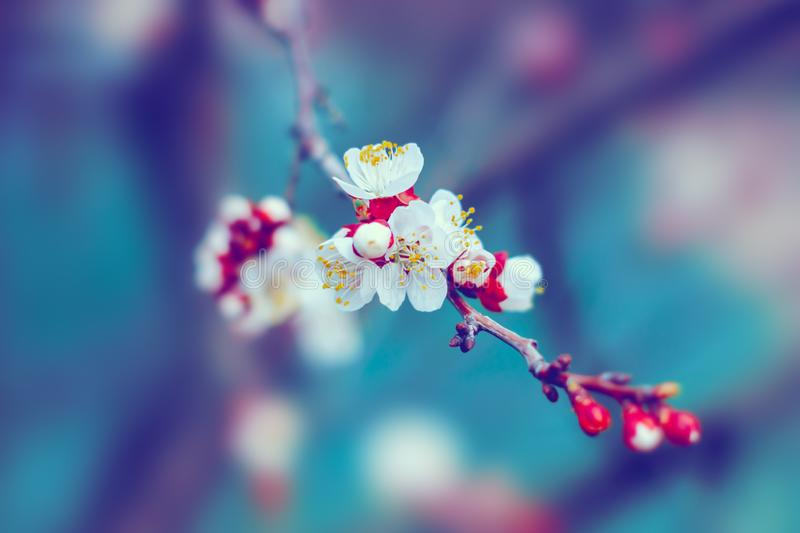 White cherry tree flowers blossom on branch in spring royalty free stock image