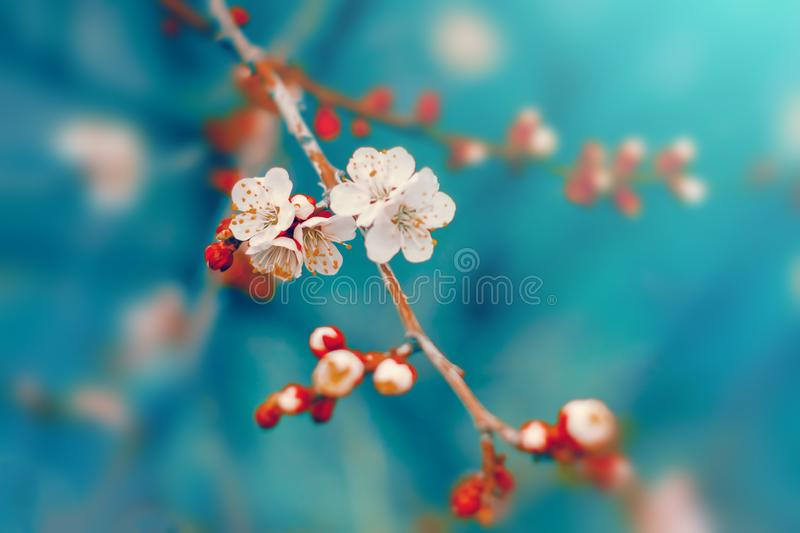 White cherry tree flowers blossom on branch in spring stock image
