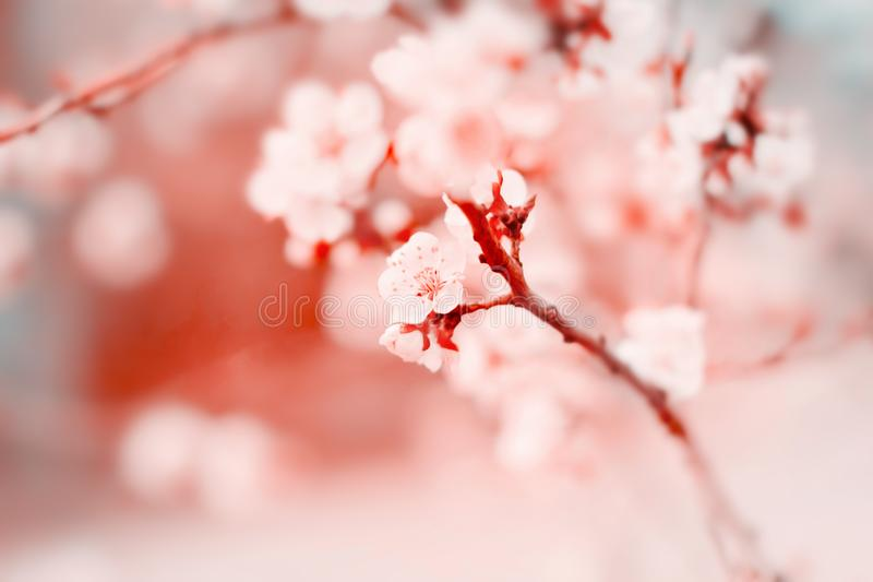 White cherry tree flowers blossom on branch in spring royalty free stock photography