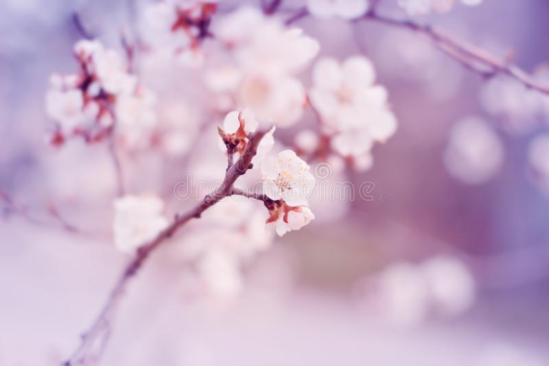White cherry tree flowers blossom on branch in spring royalty free stock photo