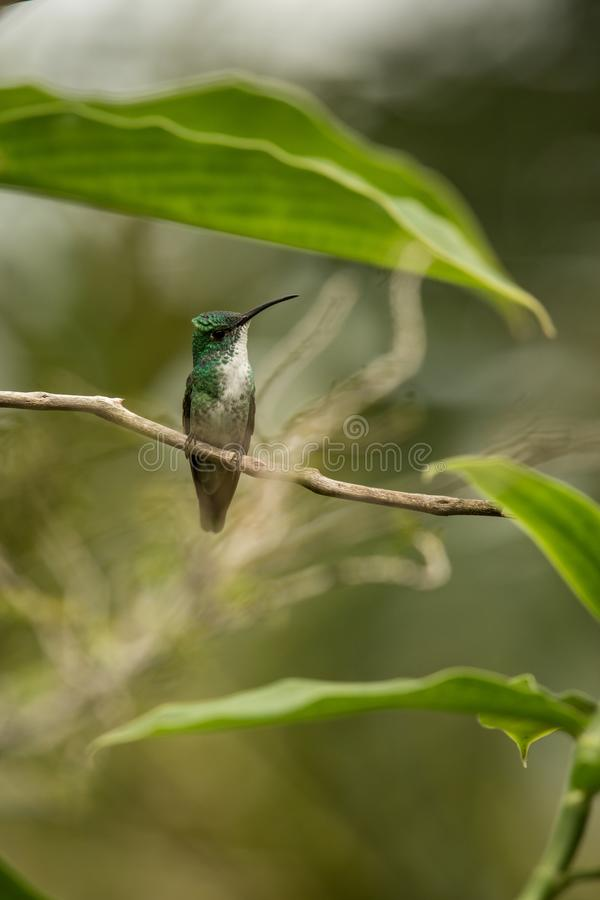 White-chested Emerald sitting on branch in garden, bird from caribean tropical forest, Trinidad and Tobago, beautiful tiny humming. Bird, exotic adventure in stock image