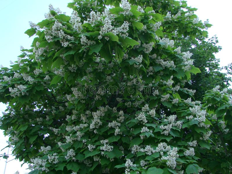 White chestnut blossom with tiny tender flowers and green leaves background. Horse chestnut flower stock images