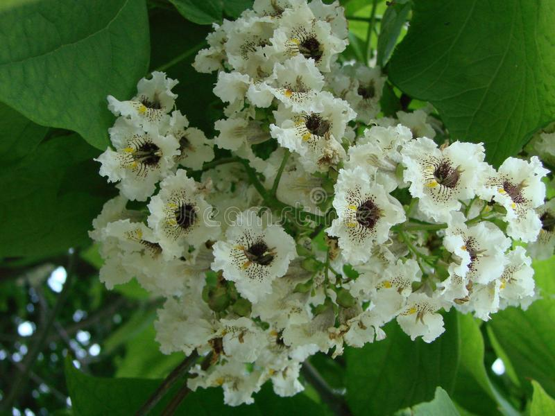 White chestnut blossom with tiny tender flowers and green leaves background. Horse chestnut flower stock image