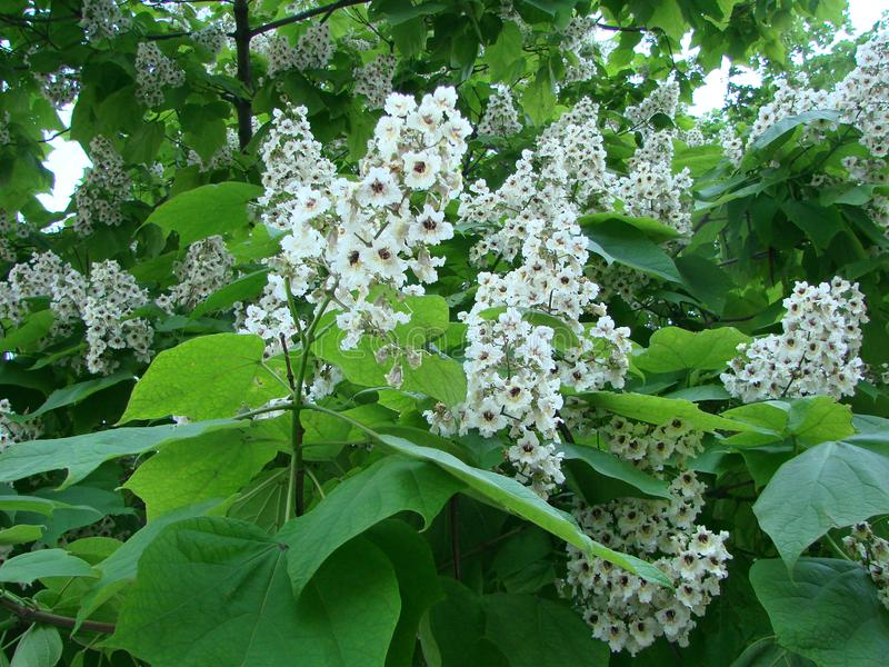 White chestnut blossom with tiny tender flowers and green leaves background. Horse chestnut flower stock photography