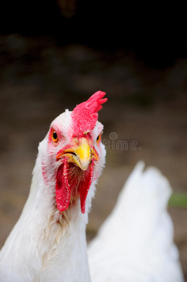 White chicken close-up royalty free stock photos