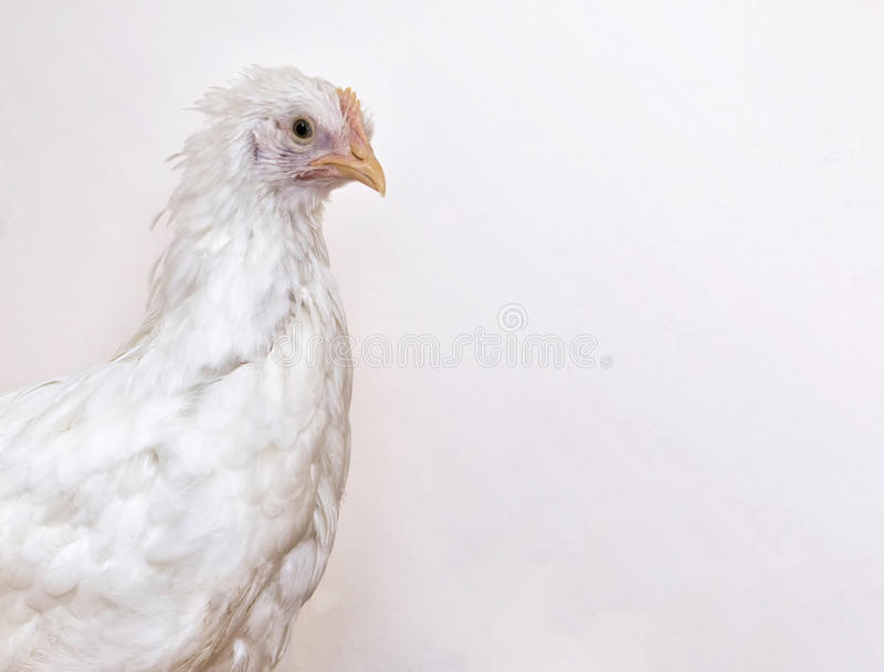 White chicken. Close up image of a young white leghorn chicken hen pullet royalty free stock photography