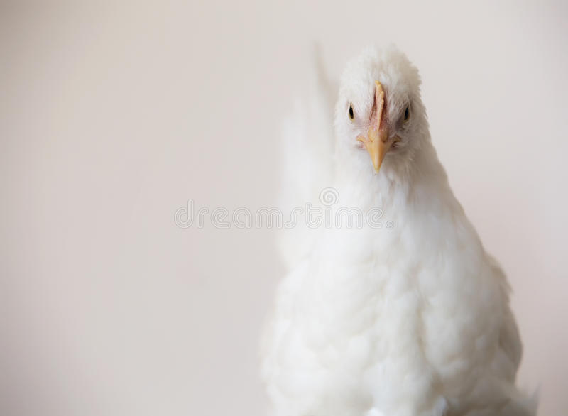 White chicken. Close up image of a young white leghorn chicken hen pullet. Shallow depth of field royalty free stock photography